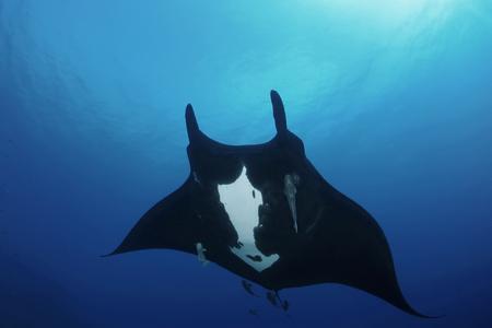 Manta ray diving Underwater Galapagos islands Pacific Ocean