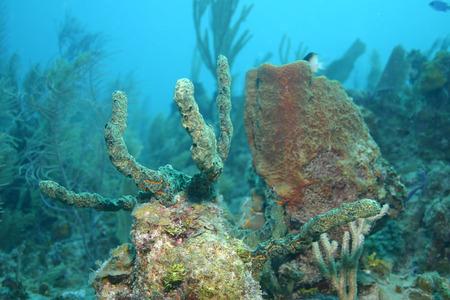 coral life underwater diving safari Caribbean Sea