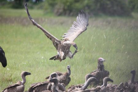 Wild Griffon Vulture of Africa