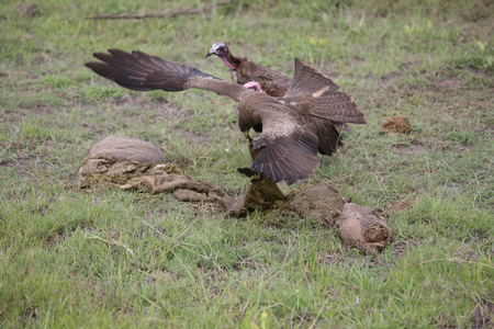 Wild Griffon Vulture of Africa
