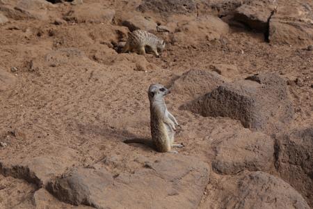 meerkat Suricata suricatta funny small african mammal
