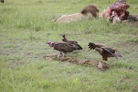 Wild Griffon Vulture Africa savannah Kenya dangerous bird Stock Photo - 94543910