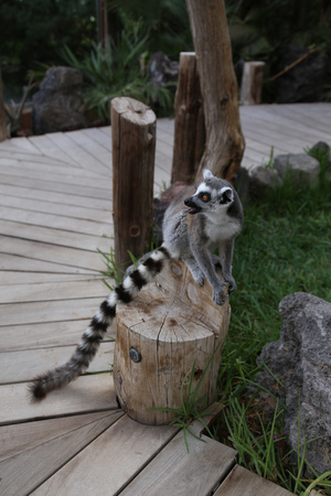 Lemur small funny animal mammal Africa Madagascar