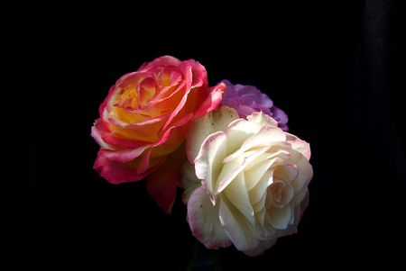 Two roses on a black background.