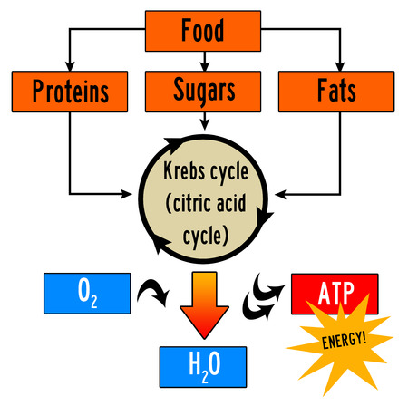 food body energy cycle illustration.