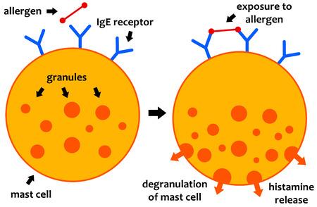 allergic reaction mechanism illustration Stock Photo