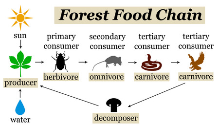 forest food chain illustration