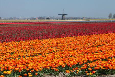 orange red tulips holland windmill 版權商用圖片
