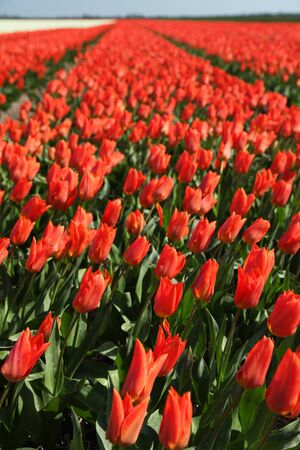 red tulip field holland