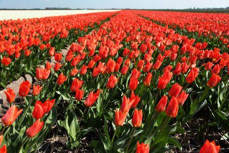 red tulips holland 版權商用圖片
