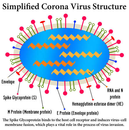 corona virus structure illustration