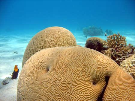 aquaria: Brain Coral