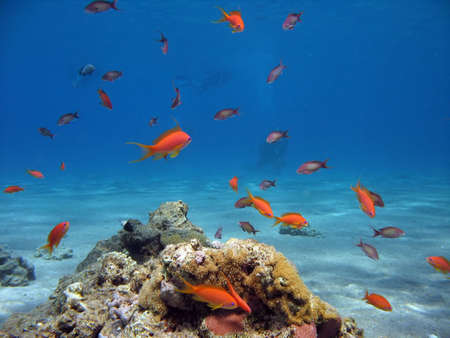 Scalefin Anthias in the Red Sea