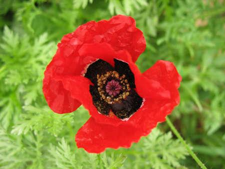 A macro shot of a crumpled poppy. Stock Photo