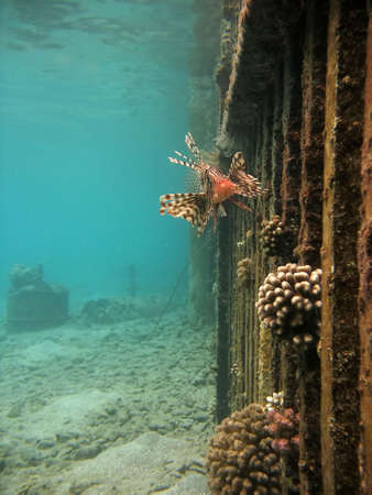 turkeyfish: A lionfish near a submerged fence. Stock Photo