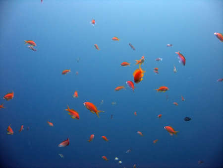 Anthias Stock Photo