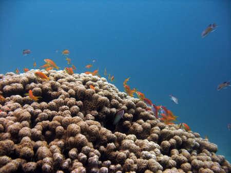 anthias: Anthias and coral