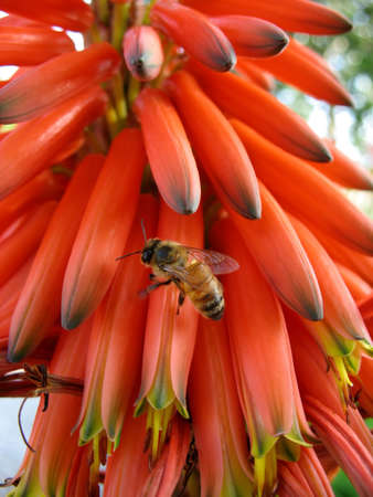 bee on aloe succotrina flowers Stock Photo