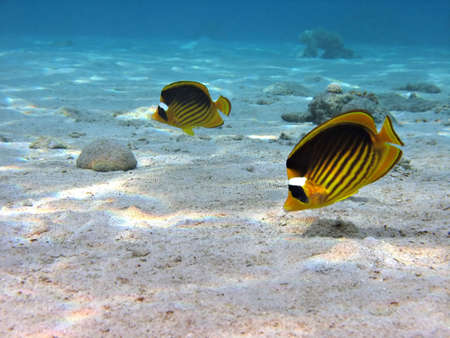 A couple of Racoon Butterflyfish.