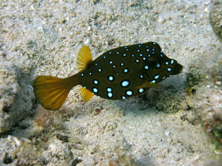 As its name implies, the boxfish is a box shaped fish, it is found in the shallower parts of the reef. It is able to secrete poison from its skin.