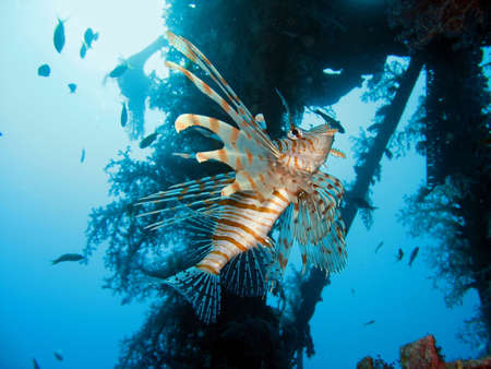 turkeyfish: near a wreck