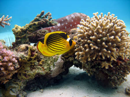 Racoon Butterflyfish and coral photo
