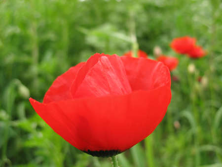 A macro shot of a poppy, side view.