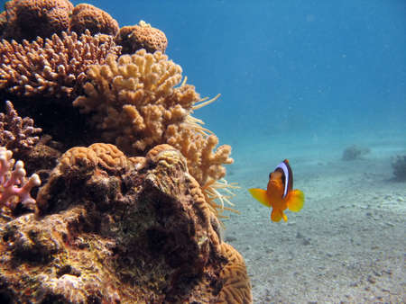 A clownfish. shot in the Red Sea Stock Photo