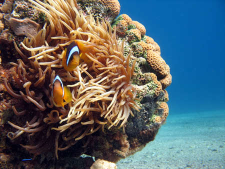 Clownfish and Sea Anemone. shot in the Red Sea Stock Photo