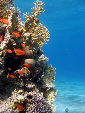 red coral colony: A picture of a coral reef teeming with life. shot in the Red Sea