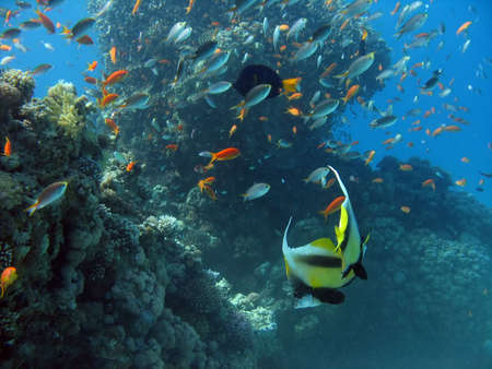 Antenna Butterflyfish. shot in the Red Sea Stock Photo