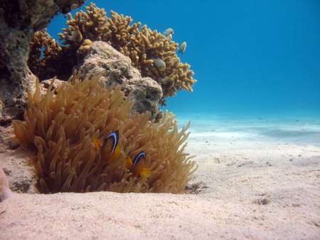 red coral colony: Clownfish and Sea Anemone. shot in the Red Sea Stock Photo