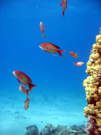 anthia: Coral Reef Scene with many fish
