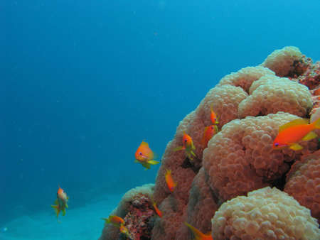 anthia: Soft corals and anthias