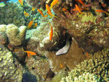 anthia: A Moray Eel near some coral