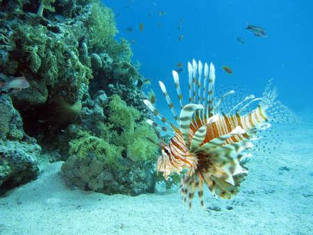 A lionfish