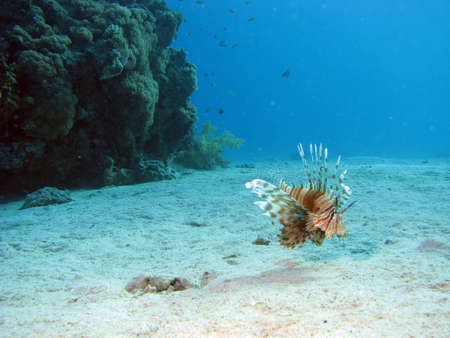 turkeyfish: A lionfish
