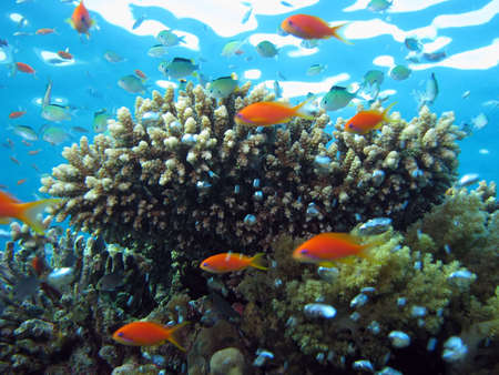 Coral and Anthias. shot in the Red Sea