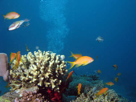 Coral and Anthias. shot in the Red Sea photo