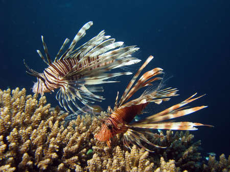 Two lionfish amonst coral