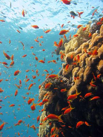corales marinos: Coral escena. disparo en el Mar Rojo 17122007