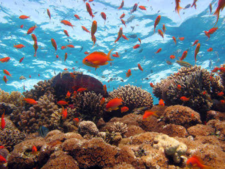 pez pecera: Coral escena. disparo en el Mar Rojo 17122007