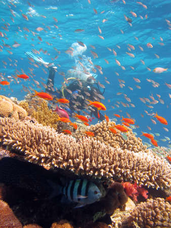 Coral Scene with diver. shot in the Red Sea 17122007 Stock Photo