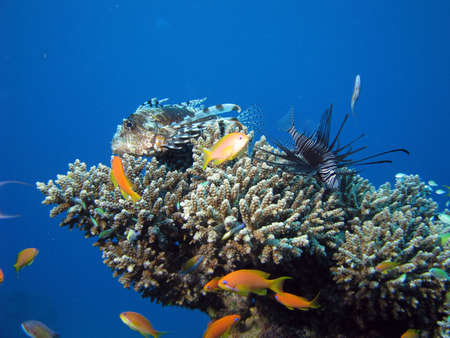 turkeyfish: 2 lionfish amonst coral