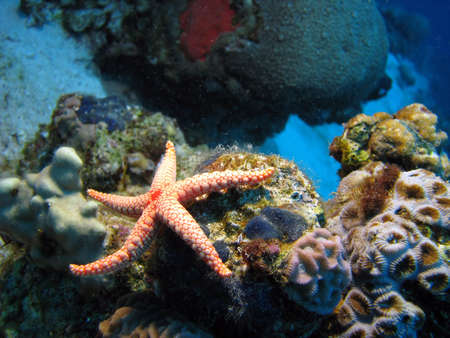 saltwater pearl: Necklacepearl Sea Star (Fromia Monilis)