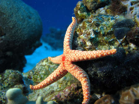saltwater pearl: A starfish as if its kicking. Stock Photo