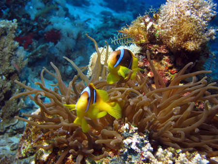 2 Clownfish and Sea Anemone. shot in the Red Sea