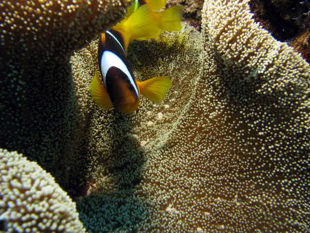 A Clownfish on Carpet Coral