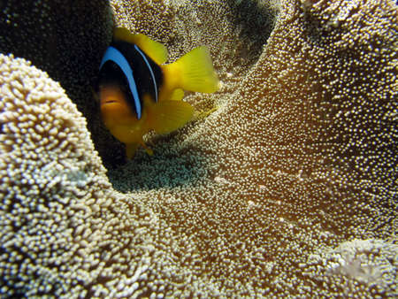 softcoral: A Clownfish on Carpet Coral