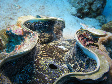 A close up of a giant clam